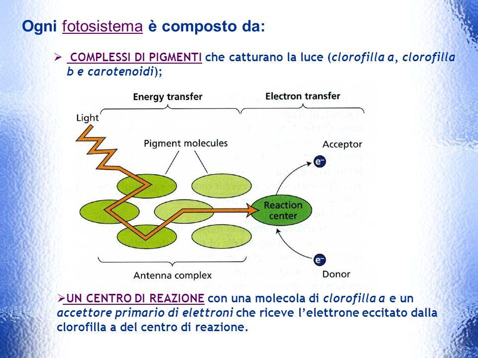 Ogni fotosistema è composto da: COMPLESSI DI PIGMENTI che catturano la luce (clorofilla a, clorofilla b e carotenoidi); UN CENTRO DI REAZIONE con una