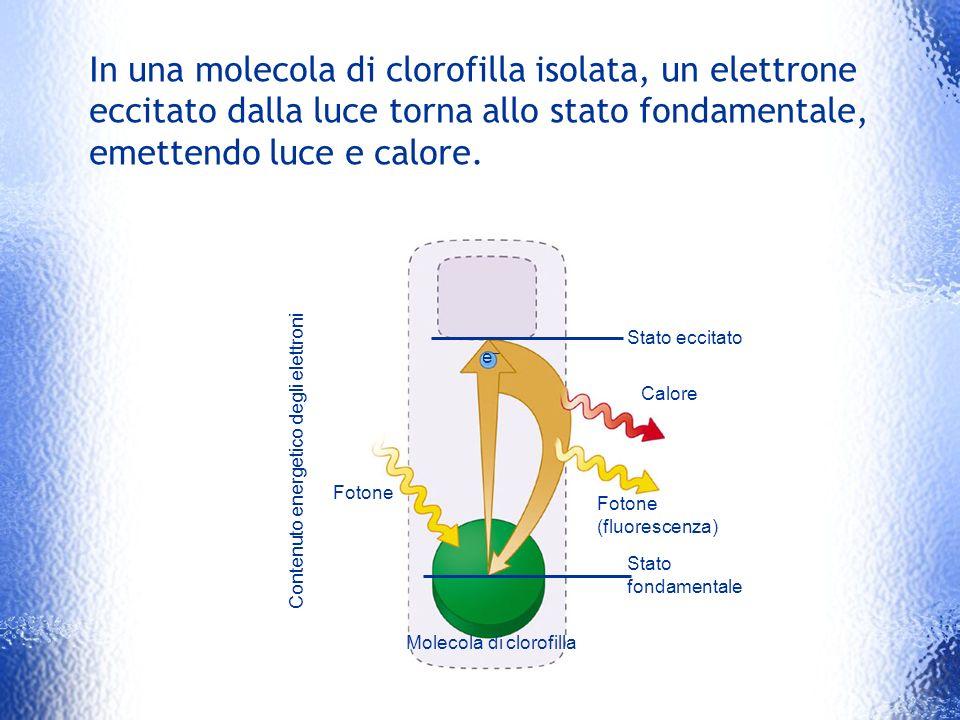 Contenuto energetico degli elettroni Fotone Stato eccitato Calore Fotone (fluorescenza) Stato fondamentale Molecola di clorofilla e–e– In una molecola