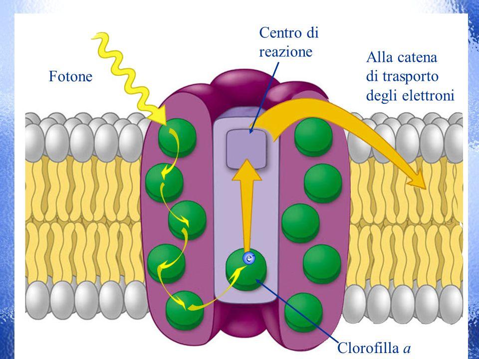 e-e- Alla catena di trasporto degli elettroni Fotone Centro di reazione Clorofilla a