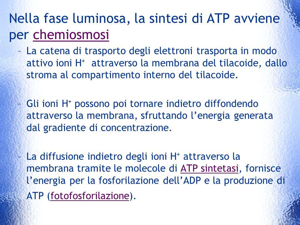 Nella fase luminosa, la sintesi di ATP avviene per chemiosmosi –La catena di trasporto degli elettroni trasporta in modo attivo ioni H + attraverso la