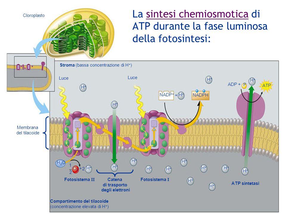 Cloroplasto Stroma (bassa concentrazione di H + ) Luce NADP + + H+H+ NADPH H+H+ H+H+ H+H+ H+H+ ATP P ADP + Membrana del tilacoide H2OH2O 1 2 O2O2 2 H+