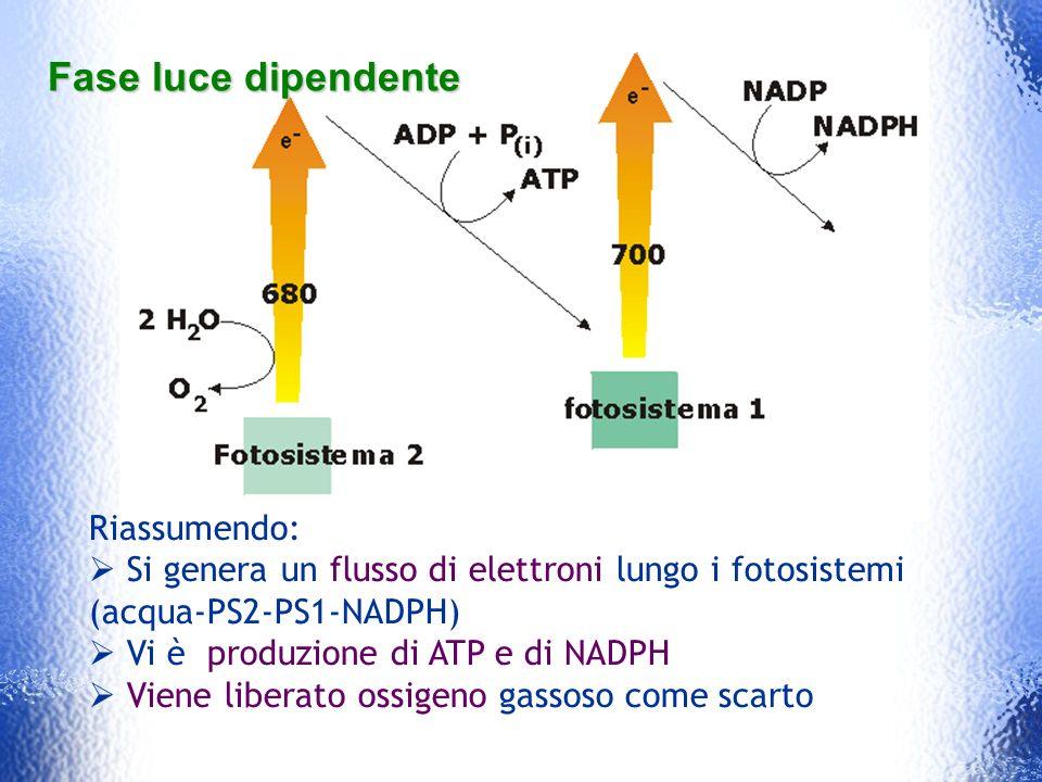 Fase luce dipendente Riassumendo: Si genera un flusso di elettroni lungo i fotosistemi (acqua-PS2-PS1-NADPH) Vi è produzione di ATP e di NADPH Viene l