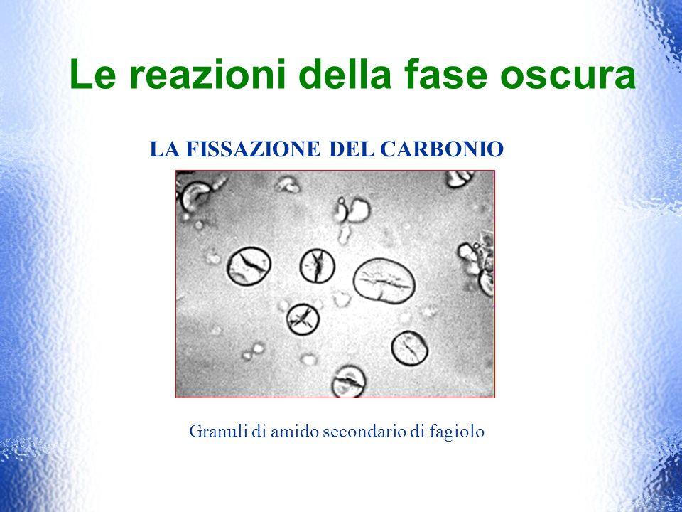 Le reazioni della fase oscura LA FISSAZIONE DEL CARBONIO Granuli di amido secondario di fagiolo