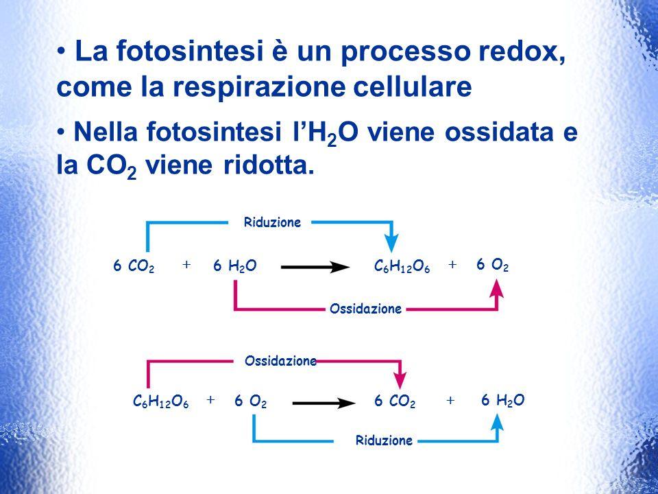 La fotosintesi è un processo redox, come la respirazione cellulare Nella fotosintesi lH 2 O viene ossidata e la CO 2 viene ridotta. Riduzione Ossidazi