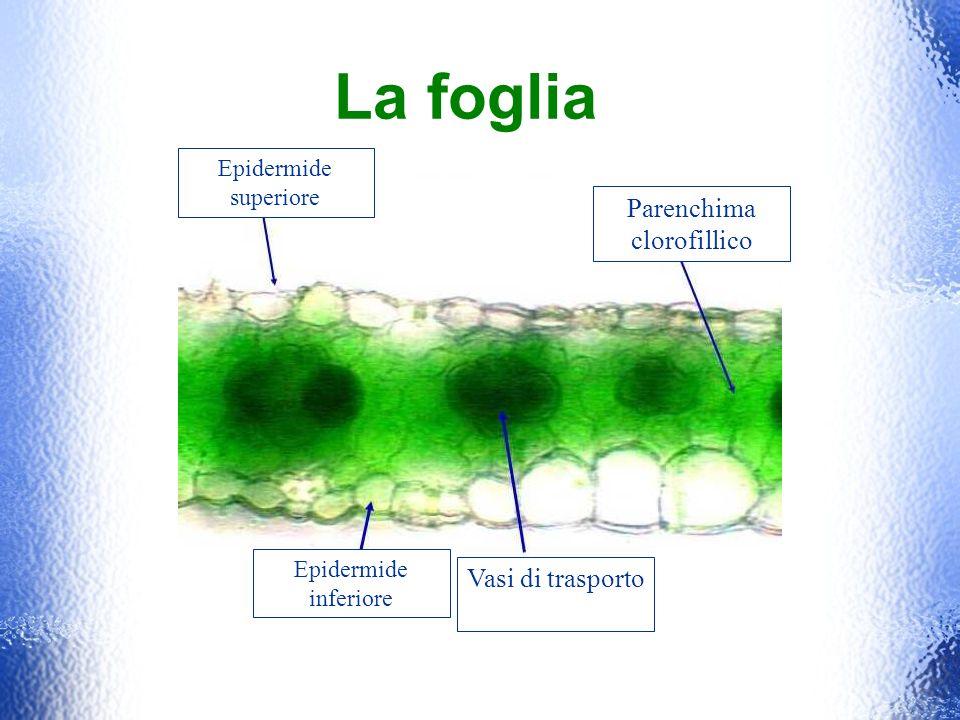 Epidermide superiore Epidermide inferiore Parenchima clorofillico Vasi di trasporto