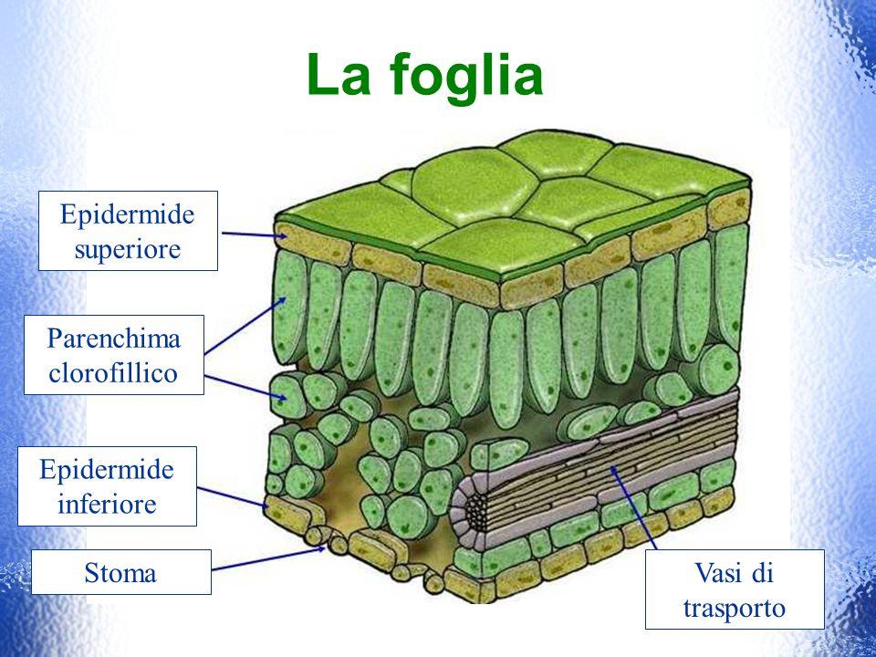La foglia Epidermide superiore Epidermide inferiore Stoma Parenchima clorofillico Vasi di trasporto
