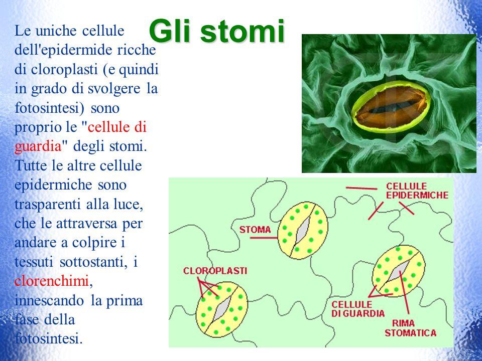 Gli stomi Le uniche cellule dell'epidermide ricche di cloroplasti (e quindi in grado di svolgere la fotosintesi) sono proprio le