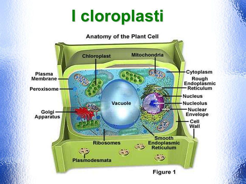 I cloroplasti