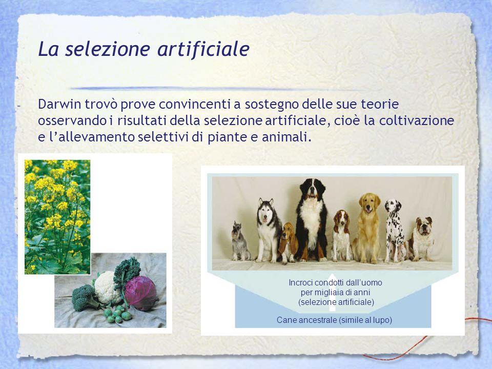 Incroci condotti dalluomo per migliaia di anni (selezione artificiale) Cane ancestrale (simile al lupo) La selezione artificiale Darwin trovò prove co
