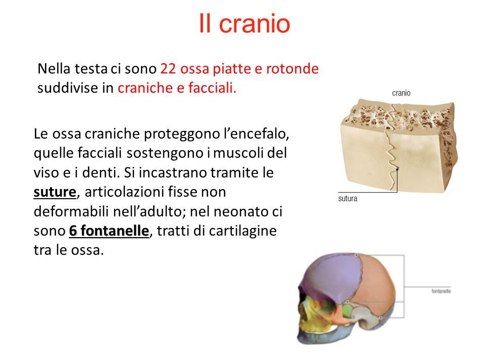 Nella testa ci sono 22 ossa piatte e rotonde suddivise in craniche e facciali. Il cranio 6 fontanelle Le ossa craniche proteggono lencefalo, quelle fa