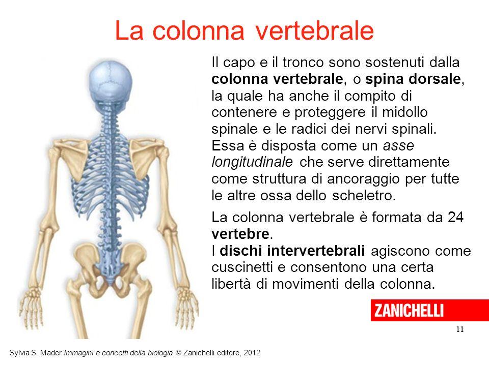 11 Sylvia S. Mader Immagini e concetti della biologia © Zanichelli editore, 2012 11 Il capo e il tronco sono sostenuti dalla colonna vertebrale, o spi