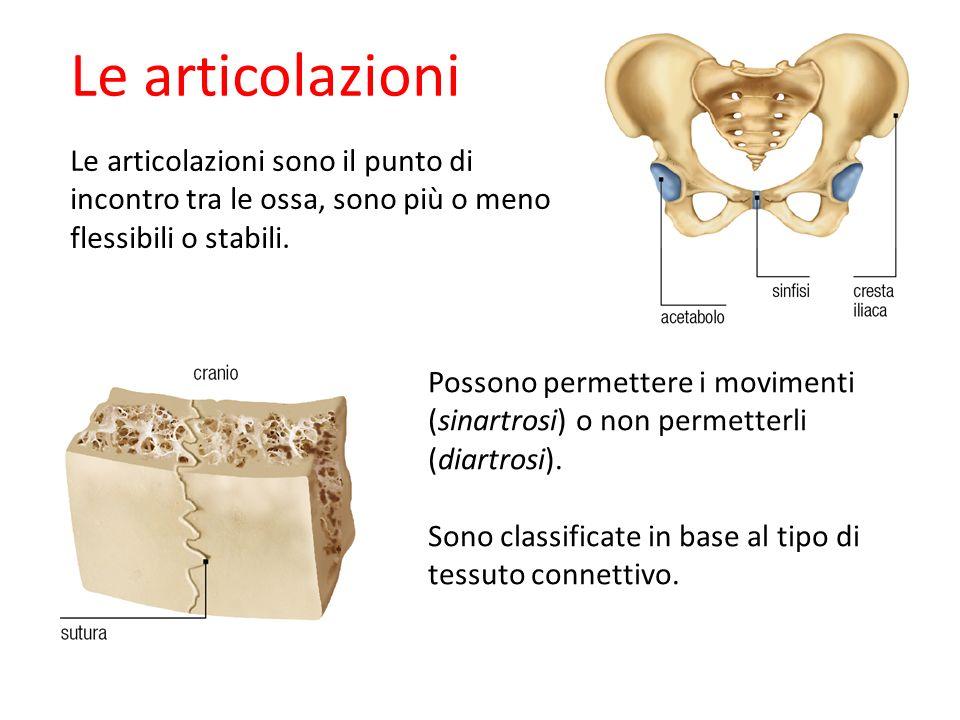 Le articolazioni Le articolazioni sono il punto di incontro tra le ossa, sono più o meno flessibili o stabili. Possono permettere i movimenti (sinartr