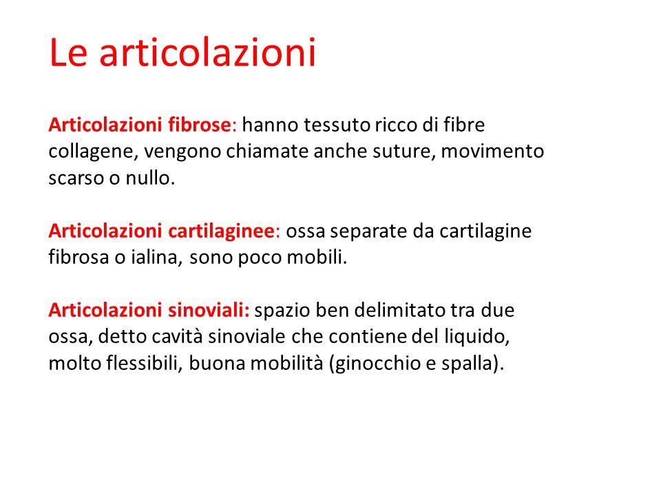Le articolazioni Articolazioni fibrose: hanno tessuto ricco di fibre collagene, vengono chiamate anche suture, movimento scarso o nullo. Articolazioni