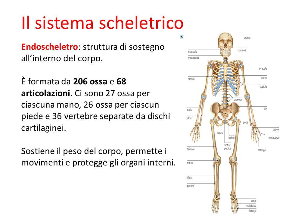 2 Il sistema scheletrico Endoscheletro: struttura di sostegno allinterno del corpo. È formata da 206 ossa e 68 articolazioni. Ci sono 27 ossa per cias