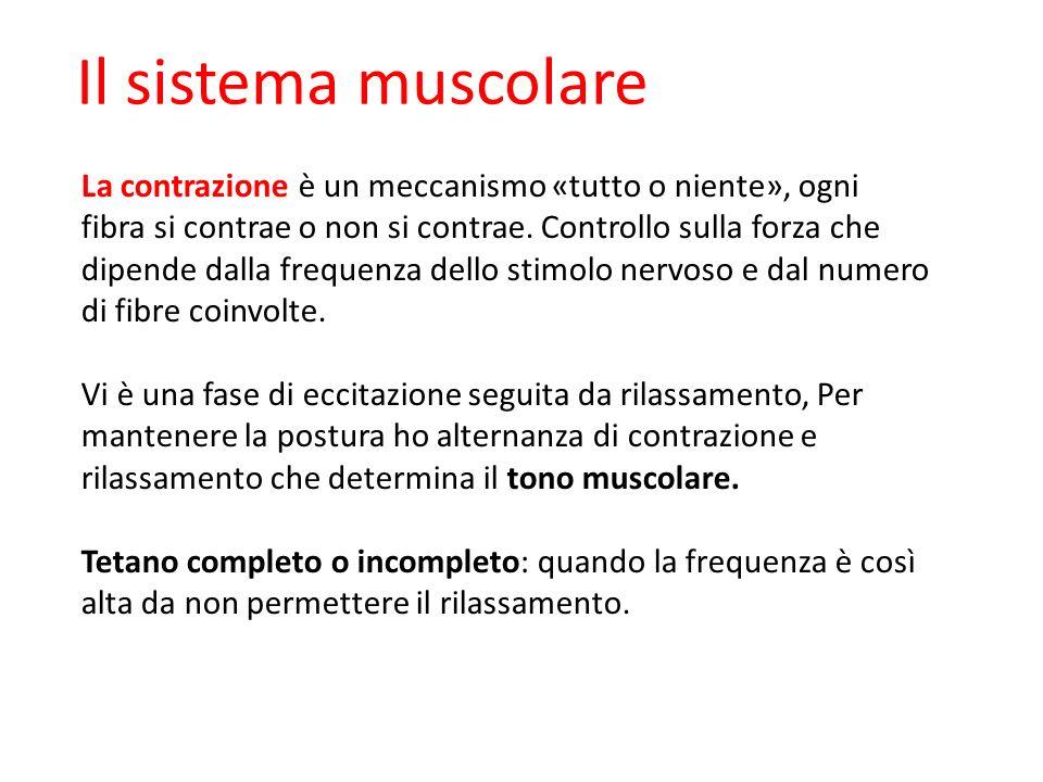 Il sistema muscolare La contrazione è un meccanismo «tutto o niente», ogni fibra si contrae o non si contrae. Controllo sulla forza che dipende dalla
