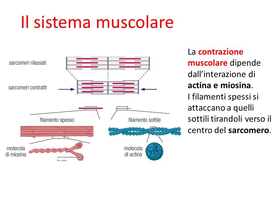 La contrazione muscolare dipende dallinterazione di actina e miosina. I filamenti spessi si attaccano a quelli sottili tirandoli verso il centro del s