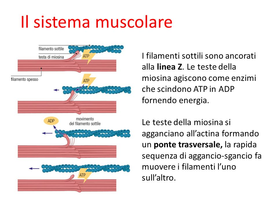 Il sistema muscolare I filamenti sottili sono ancorati alla linea Z. Le teste della miosina agiscono come enzimi che scindono ATP in ADP fornendo ener