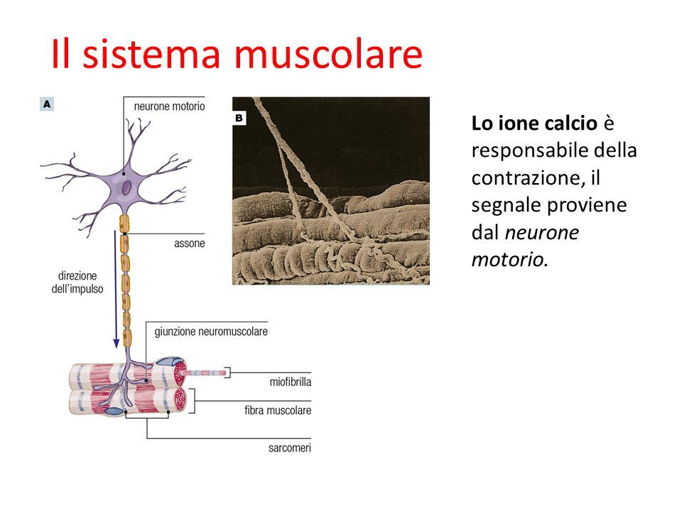 Lo ione calcio è responsabile della contrazione, il segnale proviene dal neurone motorio.