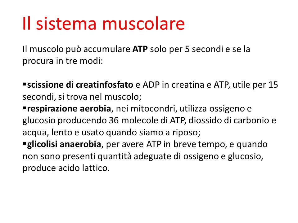 Il sistema muscolare Il muscolo può accumulare ATP solo per 5 secondi e se la procura in tre modi: scissione di creatinfosfato e ADP in creatina e ATP