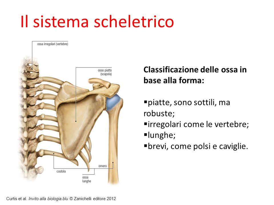 Curtis et al. Invito alla biologia.blu © Zanichelli editore 2012 Il sistema scheletrico Classificazione delle ossa in base alla forma: piatte, sono so