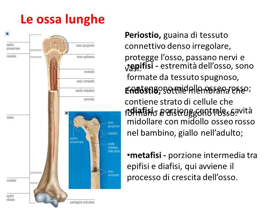 Curtis et al. Invito alla biologia.blu © Zanichelli editore 2012 Le ossa lunghe Periostio, guaina di tessuto connettivo denso irregolare, protegge los
