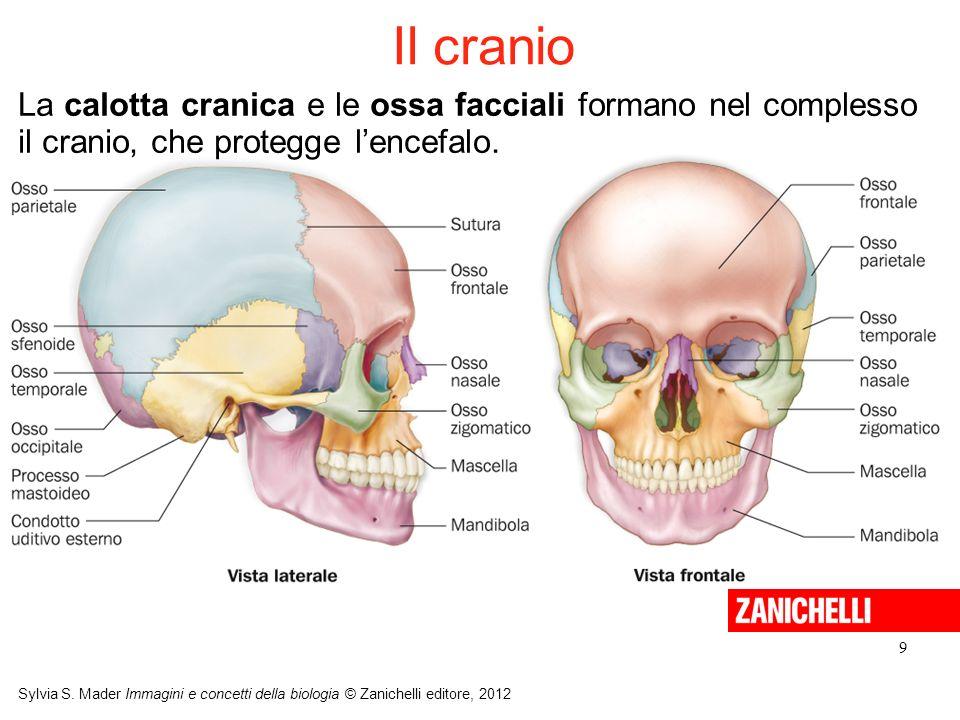 9 Sylvia S. Mader Immagini e concetti della biologia © Zanichelli editore, 2012 La calotta cranica e le ossa facciali formano nel complesso il cranio,