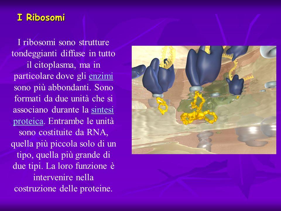 I ribosomi sono strutture tondeggianti diffuse in tutto il citoplasma, ma in particolare dove gli enzimi sono più abbondanti. Sono formati da due unit