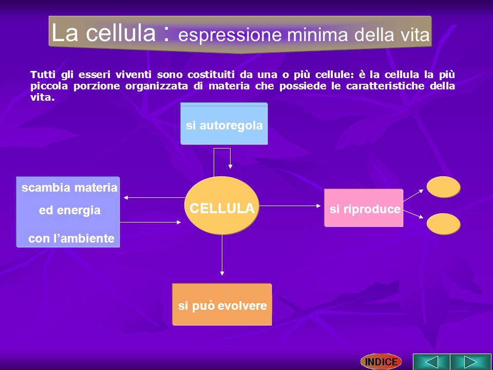 CELLULA si riproduce scambia materia ed energia con lambiente si autoregola si può evolvere La cellula : espressione minima della vita Tutti gli esser