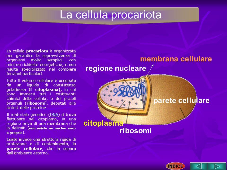 parete cellulare ribosomi citoplasma regione nucleare membrana cellulare La cellula procariota è organizzata per garantire la sopravvivenza di organis