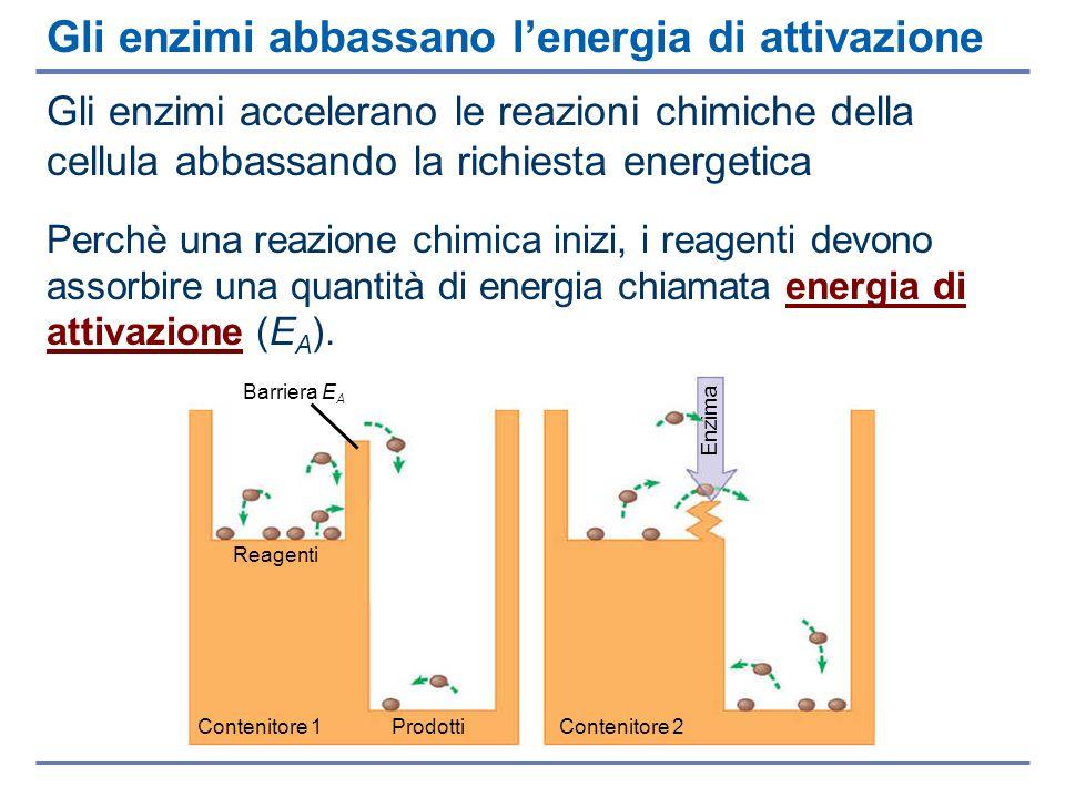 Anche le reazioni di sintesi e di degradazione delle proteine richiedono la presenza di enzimi