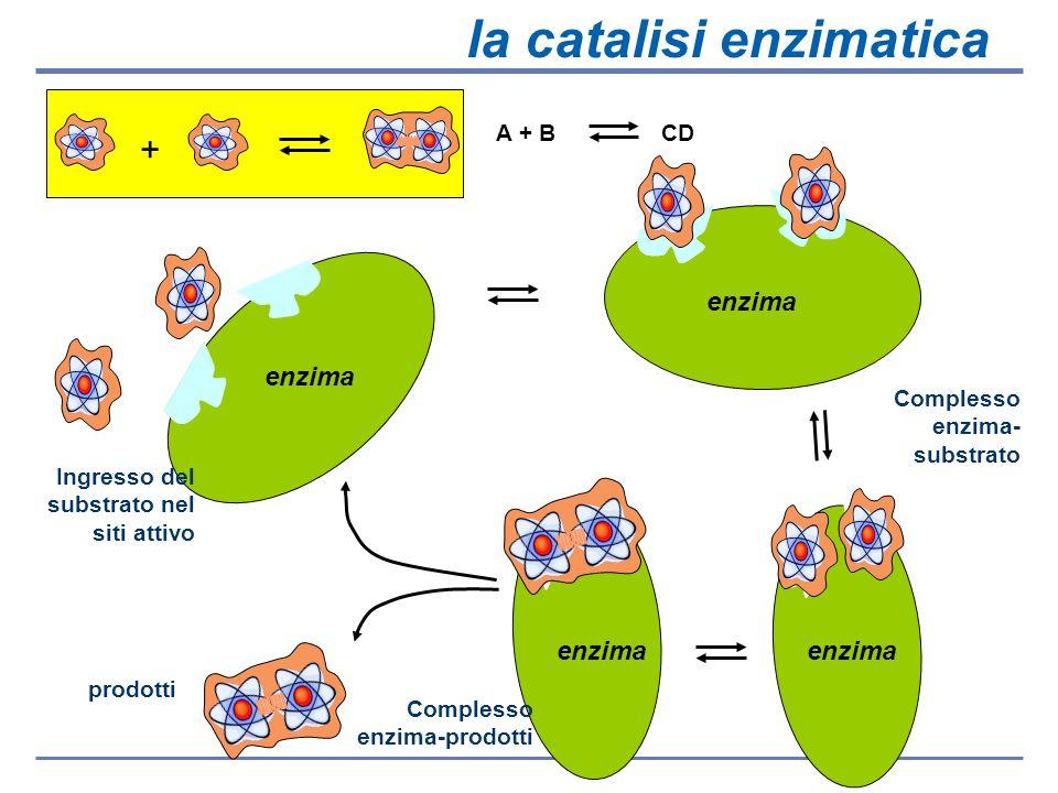 Complesso enzima-substrato substrato enzima Complesso enzima- substrato Enzima & prodotti