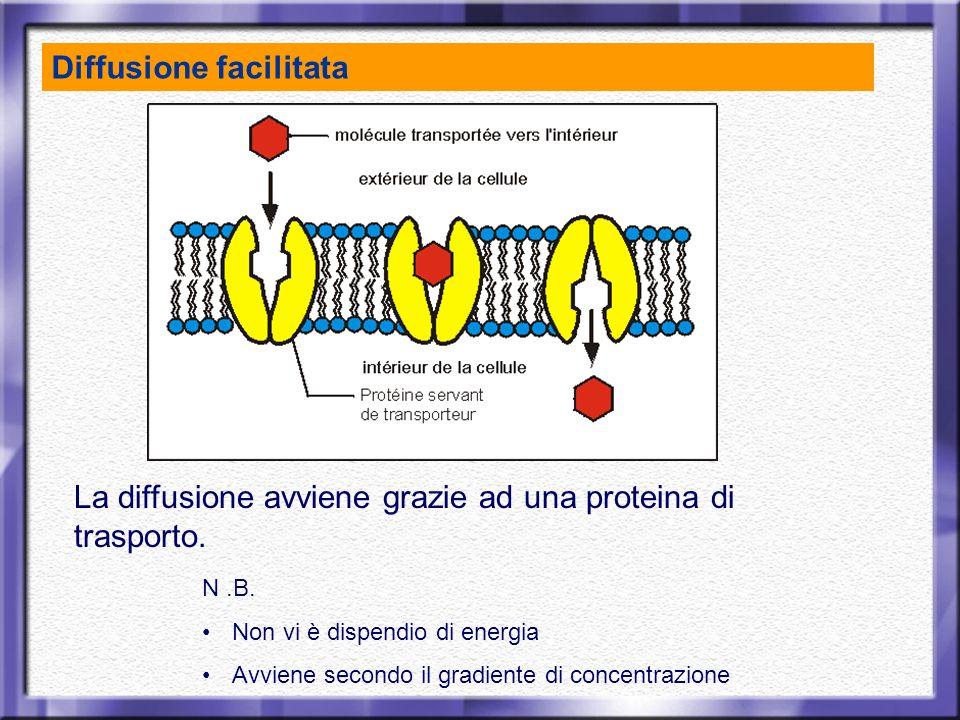 Diffusione facilitata La diffusione avviene grazie ad una proteina di trasporto. N.B. Non vi è dispendio di energia Avviene secondo il gradiente di co