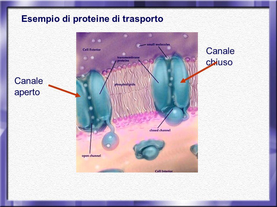 Esempio di proteine di trasporto Canale aperto Canale chiuso