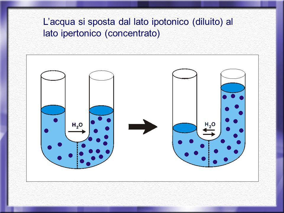 Lacqua si sposta dal lato ipotonico (diluito) al lato ipertonico (concentrato)