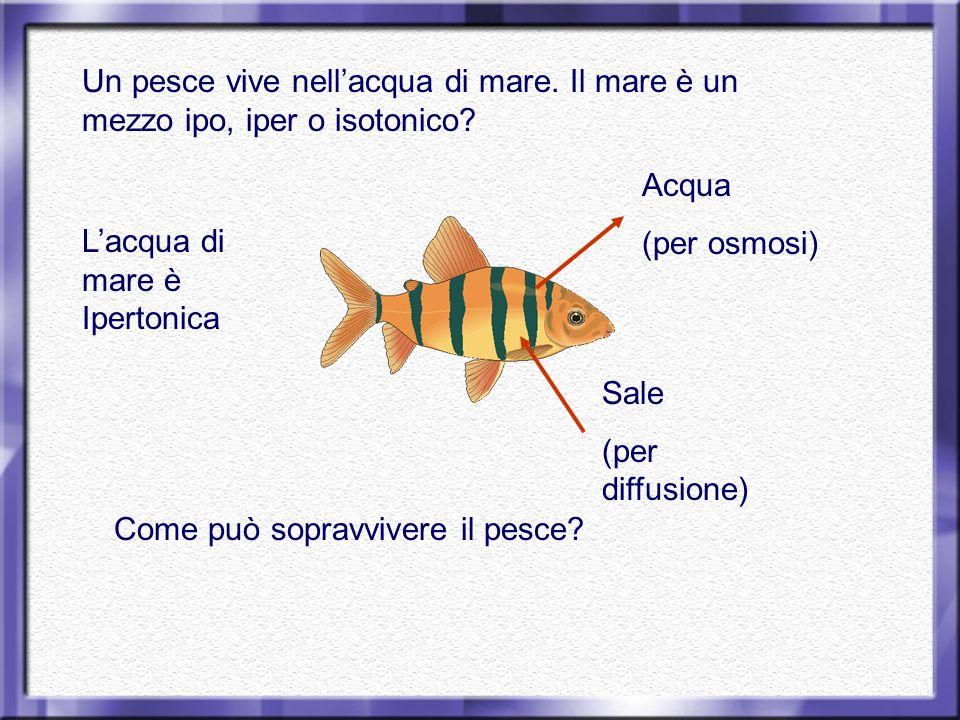Un pesce vive nellacqua di mare. Il mare è un mezzo ipo, iper o isotonico? Acqua (per osmosi) Sale (per diffusione) Come può sopravvivere il pesce? La