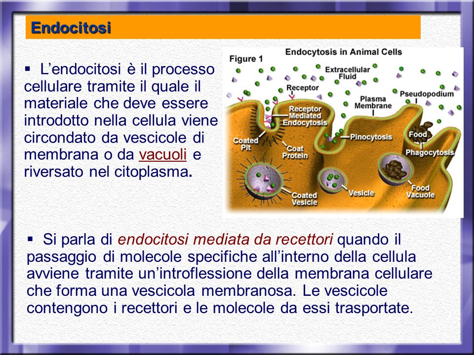 Lendocitosi è il processo cellulare tramite il quale il materiale che deve essere introdotto nella cellula viene circondato da vescicole di membrana o
