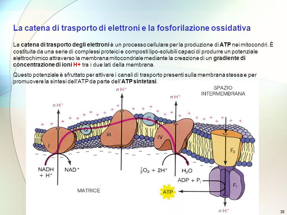 Prof. paolo abis30 La catena di trasporto degli elettroni è un processo cellulare per la produzione di ATP nei mitocondri. È costituita da una serie d