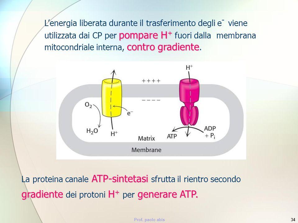 Prof. paolo abis34 pompare H + contro gradiente Lenergia liberata durante il trasferimento degli e - viene utilizzata dai CP per pompare H + fuori dal
