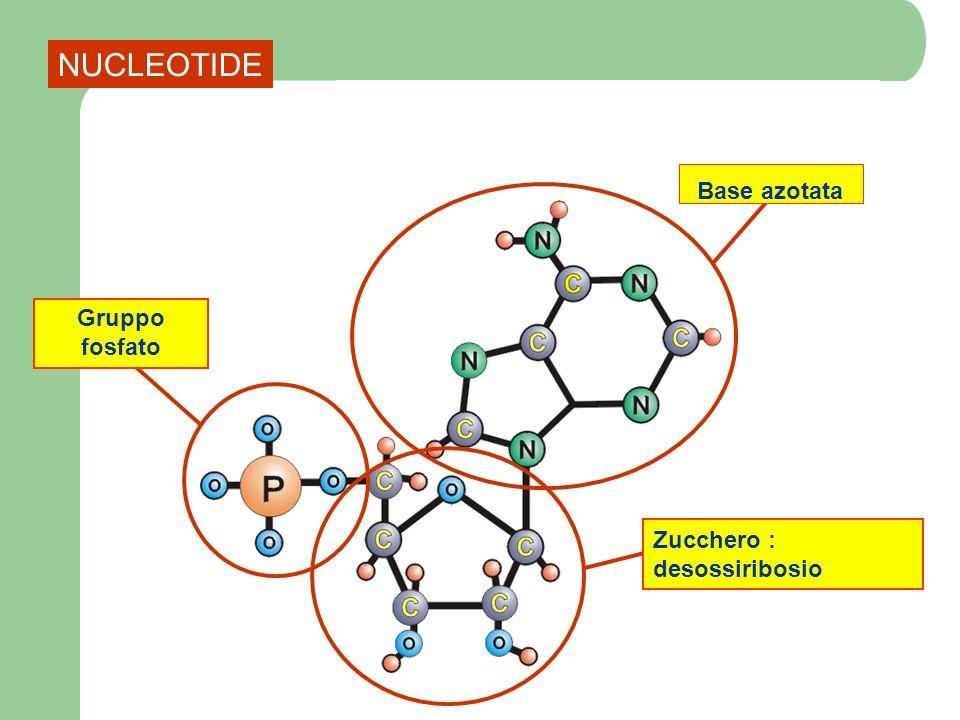 Base azotata Desossiribosio Fosfato