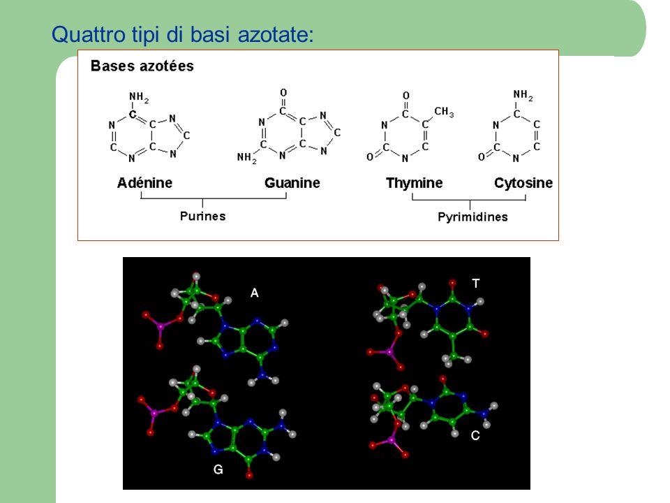 Pertanto si hanno 4 nucleotidi: A, T, C et G I nucleotidi si legano gli uni agli altri attraverso lo zucchero (desossiribosio) ed il gruppo fosfato.
