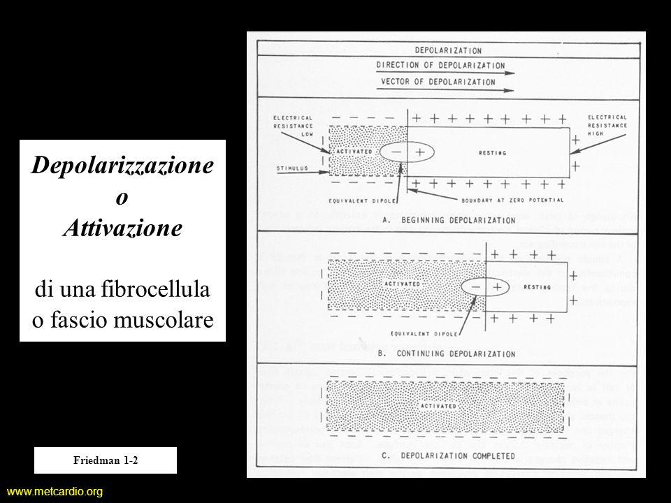 www.metcardio.org Depolarizzazione o Attivazione di una fibrocellula o fascio muscolare Friedman 1-2