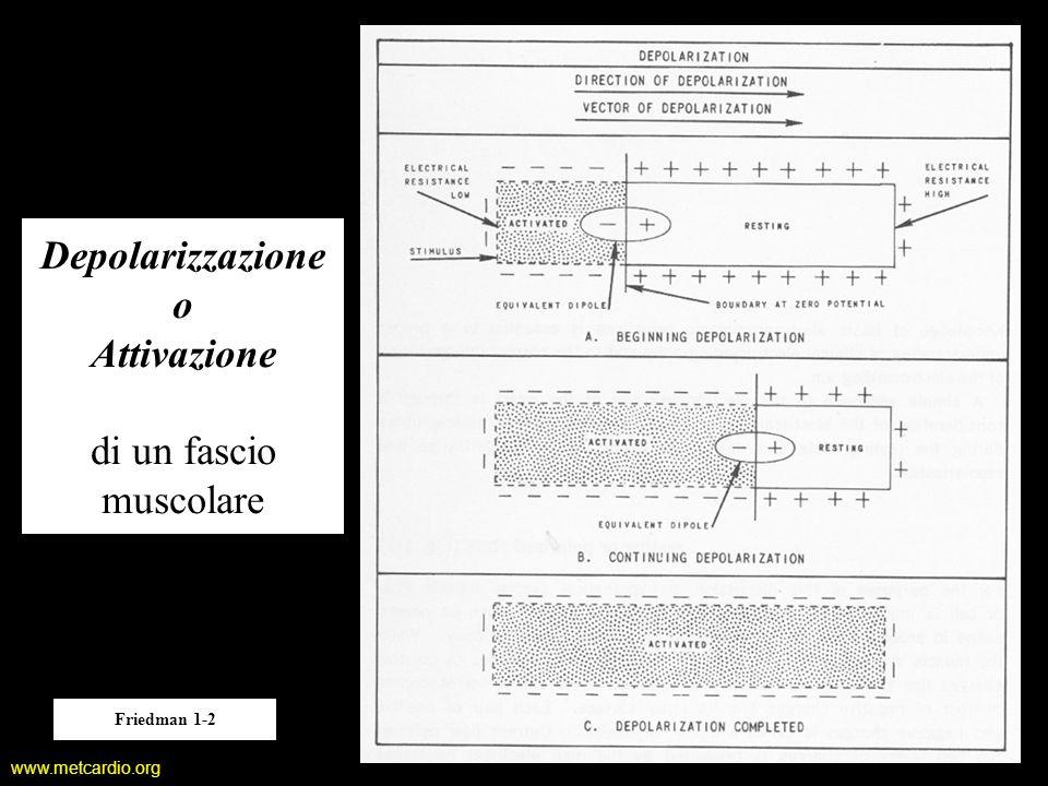 www.metcardio.org Depolarizzazione o Attivazione di un fascio muscolare Friedman 1-2