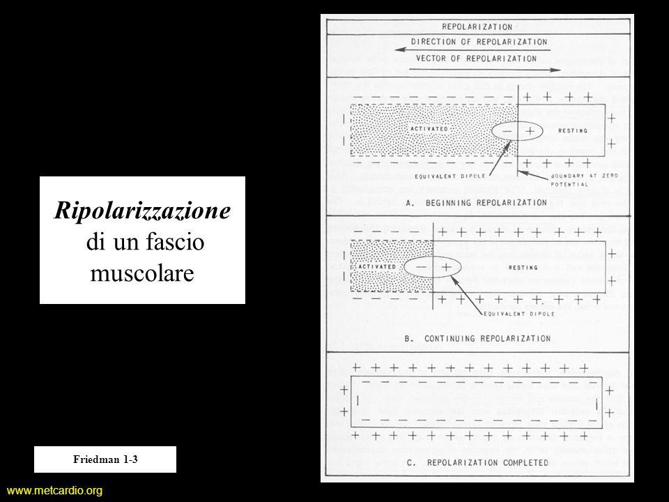 www.metcardio.org Ripolarizzazione di un fascio muscolare Friedman 1-3