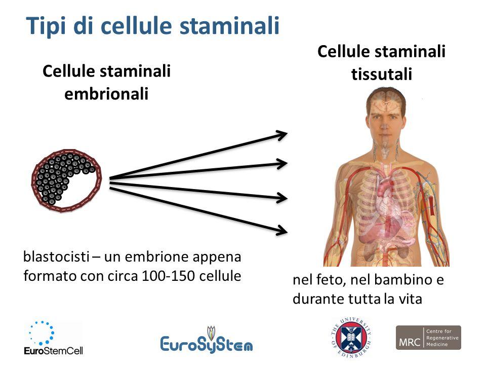 Cellule staminali embrionali Cellule staminali tissutali blastocisti – un embrione appena formato con circa 100-150 cellule nel feto, nel bambino e du