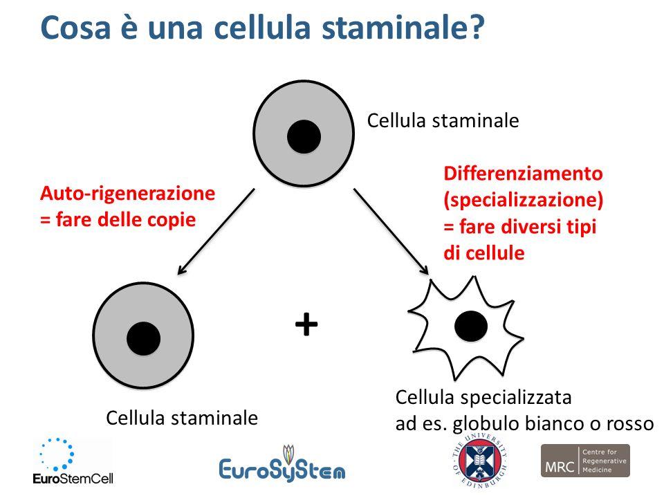 Cellula staminale Auto-rigenerazione = fare delle copie Cellula specializzata ad es. globulo bianco o rosso Differenziamento (specializzazione) = fare