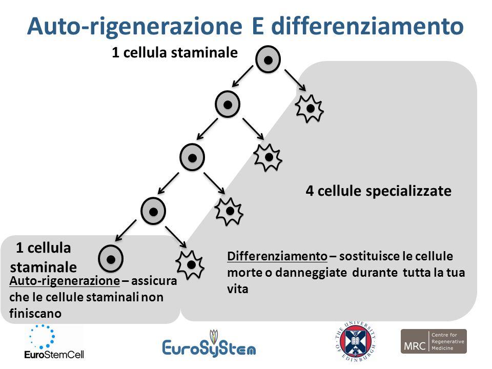 1 cellula staminale Auto-rigenerazione – assicura che le cellule staminali non finiscano Auto-rigenerazione E differenziamento 1 cellula staminale 4 c