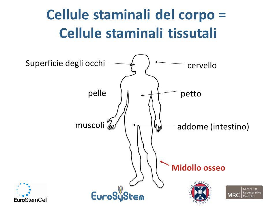 Cellule staminali del corpo = Cellule staminali tissutali Superficie degli occhi cervello pelle petto muscoli addome (intestino) Midollo osseo