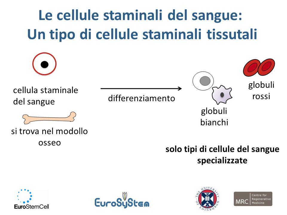 Le cellule staminali del sangue: Un tipo di cellule staminali tissutali cellula staminale del sangue si trova nel modollo osseo differenziamento solo