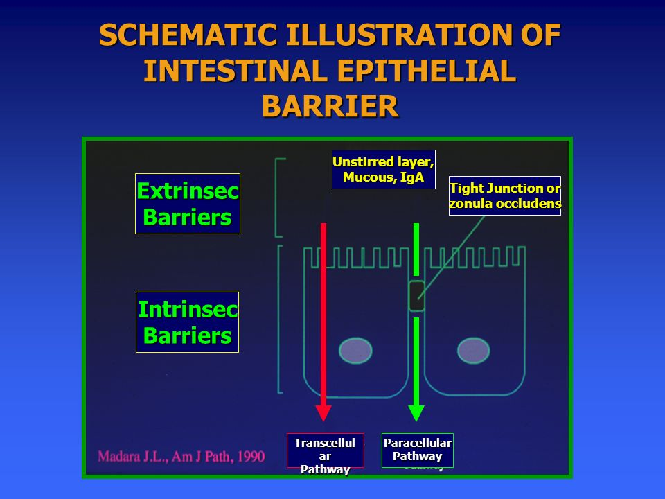 ExtrinsecBarriers IntrinsecBarriers Transcellul ar PathwayParacellularPathway Tight Junction or zonula occludens Unstirred layer, Mucous, IgA SCHEMATIC ILLUSTRATION OF INTESTINAL EPITHELIAL BARRIER