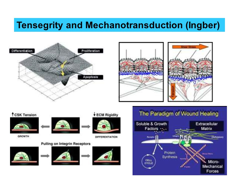 Tensegrity and Mechanotransduction (Ingber)